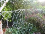Плоская  Егоза в саду