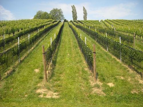 Захистити виноград і лозу від ос