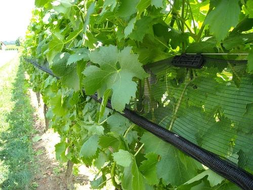 Захистити виноград від птахів