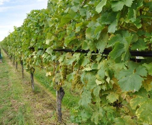 Захистити виноград від граду